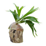 Staghorn fern on stump Royalty Free Stock Photo
