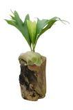 Staghorn fern on stump Stock Image