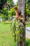 Staghorn Fern on a tree. Staghorn Fern growning in the wild on a tree Royalty Free Stock Photo