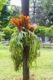 Staghorn Fern on a tree. Staghorn Fern growning in the wild on a tree Royalty Free Stock Image