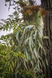 Staghorn Ferns or Elkhorn Ferns, Platycerium bifurcatum. Staghorn Ferns or Elkhorn Ferns, Platycerium bifurcatum tropical plants stock image
