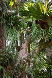 Staghorn ferns on rainforest trees Stock Photography