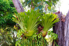 Staghorn ferns. On tree in nature garden Royalty Free Stock Images