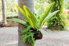 Staghorn ferns on tree Stock Photos