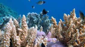 Staghorn-Koralle, Acropora pulchra, mit den tropischen Fischen Unterwasser im Roten Meer Stockfotos
