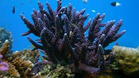 Staghorn-Koralle, Acropora pulchra, mit den tropischen Fischen Unterwasser im Roten Meer stock video footage