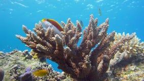 Staghorn-Koralle, Acropora pulchra, mit den tropischen Fischen Unterwasser im Roten Meer stock footage