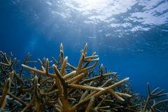 Staghorn Koralle, Bonaire Lizenzfreies Stockbild