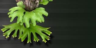 Staghorn ormbunke på svart bakgrund Arkivfoton