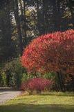 Staghorn sumac漆树typhina五颜六色的树和叶子  免版税库存照片