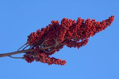 Staghorn Sumac Stock Image