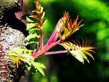 Staghorn sumac Royaltyfri Foto