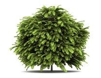 Staghorn sumac bush  on white Stock Image