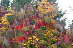 Staghorn sumac in fall Stock Photos