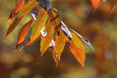 Staghorn Sumac Fall Leaves Royalty Free Stock Image