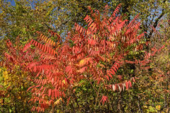 Staghorn Sumac in the Fall Royalty Free Stock Images