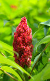 Staghorn sumac fruit Stock Photo