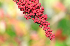 Staghorn sumac fruit, Rhus typhina, in Autumn, upstate NewYork Royalty Free Stock Images