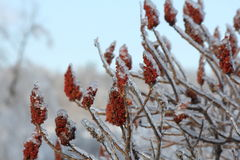 Staghorn Sumac and Ice (Rhus typhina) Royalty Free Stock Image