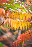 Staghorn sumac leaves Royalty Free Stock Image