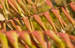 Staghorn sumac leaves Royalty Free Stock Photo