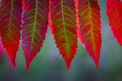 Staghorn sumac leaves stock photography