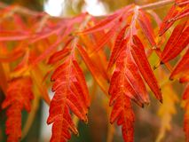 Staghorn sumac leaves close up in autumn. Also known as Rhus typhina `Dissecta royalty free stock images