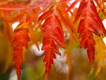Staghorn sumac leaves close up in autumn. Also known as Rhus typhina `Dissecta royalty free stock image