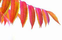 Staghorn Sumac. Rhus Typhina in autumn. Royalty Free Stock Photo