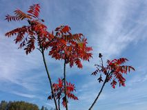 The staghorn sumac Rhus typhina, decorative plant, with red leaves at autumn in a blue sky background. Stock Photo