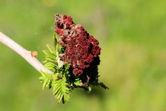 Staghorn sumac or Rhus typhina dioecious deciduous tree branch with fresh light green leaves and dark red partially dried dense. Cone shaped flowers planted in royalty free stock photos