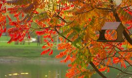 Staghorn Sumac Rhus typhina Red drupe, red leaves. Staghorn Sumac Rhus typhina Red drupe red leaves Stock Photo