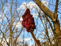 Staghorn Sumac stock photos