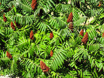 Staghorn sumac (Rhus typhina) Royalty Free Stock Photography