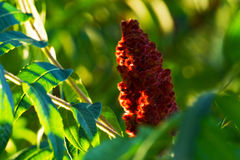 Staghorn Sumac by the River. A large bud of a staghorn sumac tree near the Saint Joseph River in Buchanan, Michigan Stock Photography