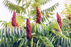 Staghorn sumac or velvet sumac Stock Images