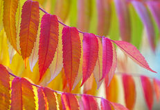 Staghorn sumac in vibrant autumn colours. Stock Photos