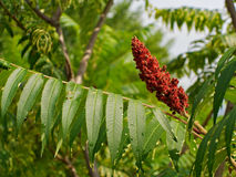 Staghorn Sumac stock photo