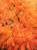 Staghorn Sumach feathery foliage in fall colors Royalty Free Stock Photo