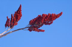 staghornsumac Arkivfoton