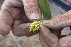 Stagionato equipaggia le mani dell'azienda agricola che tengono a mala pena la pianta Immagine Stock
