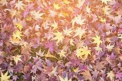 Stagione caduta di autunno del fondo delle foglie di acero Fotografie Stock