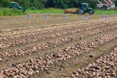 Stagione che raccoglie le patate Fotografia Stock Libera da Diritti