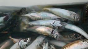 Stagione del pesce aperta stock footage