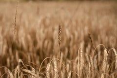 Stagione del raccolto, effettuante i raccolti Immagini Stock Libere da Diritti