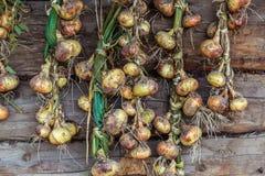 Stagione del raccolto, le cipolle intrecciate si sono asciugate su un fondo di woode Immagine Stock Libera da Diritti