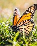 Stagione della farfalla Fotografia Stock
