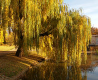 Stagione di autunno del salice Fotografia Stock