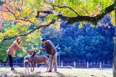 Stagione di caduta con bello colore dell'acero a Nara Park, Giappone Immagini Stock Libere da Diritti