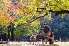 Stagione di caduta con bello colore dell'acero a Nara Park, Giappone Fotografia Stock